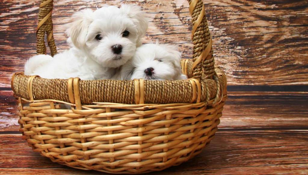 puppy twins in a basket