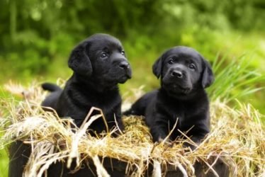 black labrador puppy twins