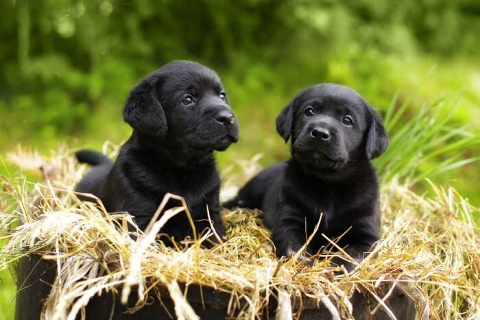 Best Dog Food For A Black Lab Puppy