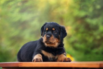 adorable rottweiler puppy posing outdoors in summer