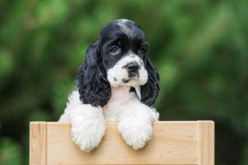american cocker spaniel puppy outdoors in summer