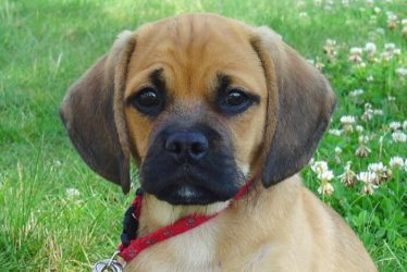 puggle with a lead