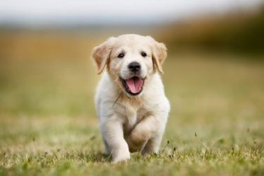 Seven week old golden retriever puppy outdoors on a sunny day