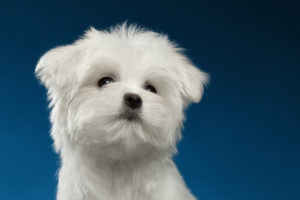 Closeup Portrait Cute White Maltese Puppy Looking Up, Blue Backg