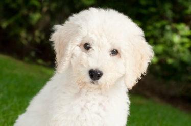 marty labradoodle puppy