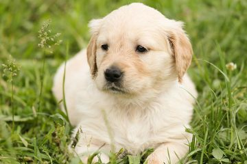 a small golden retriever laying in the grass