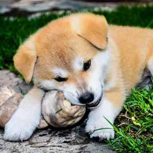 Akita chewing a toy