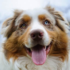 Australian Shepherd with differently colored eyes