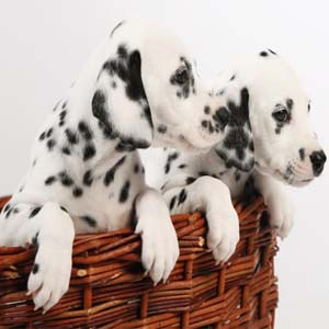 2 Dalmatians in a basket