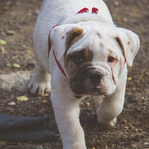 English Bulldog looking up