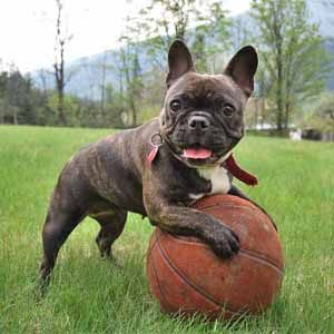 Frenchie with a ball