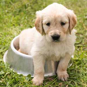 Golden Retriever in a bowl
