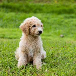 Goldendoodle sitting on a grass
