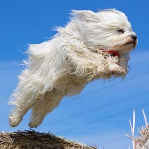 Havanese in a jump