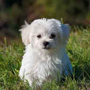 Maltese white looking at you