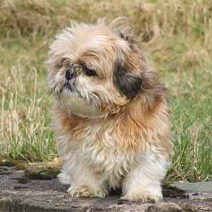 Shih Tzu looking aside