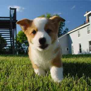 Corgi running on a grass