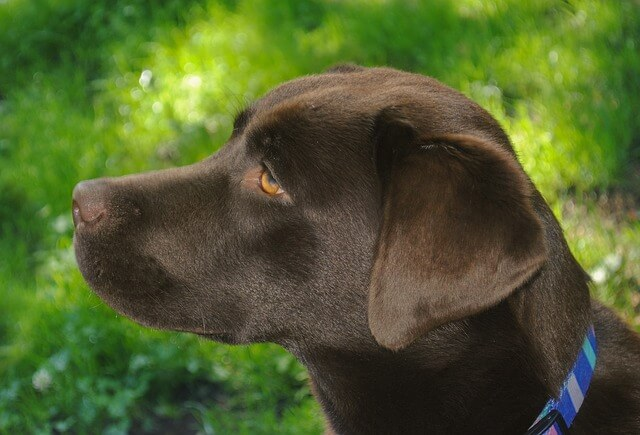 chocolate lab head