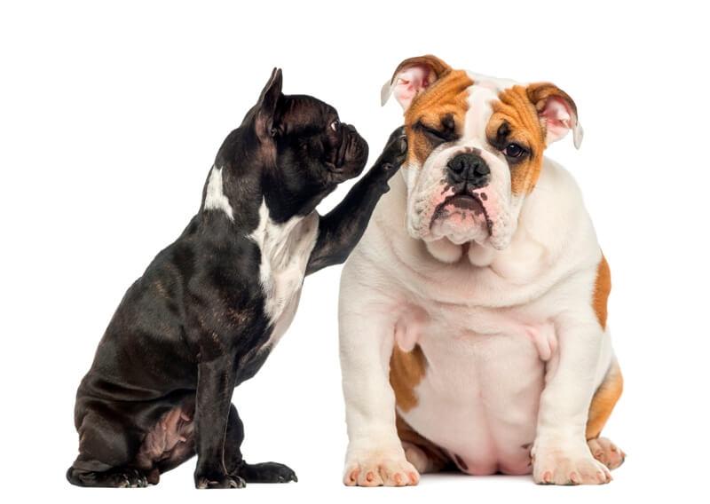 French bulldog reaching to tired English bulldog