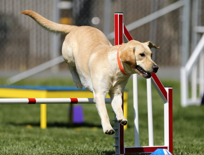 Retrievers are among smartest dogs breed