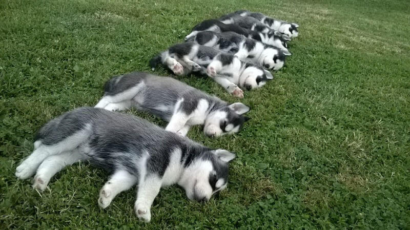 Siberian Husky puppies sleeping on a grass in a row
