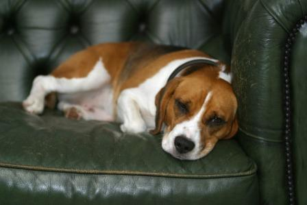 Dog laying on the sofa with sad face