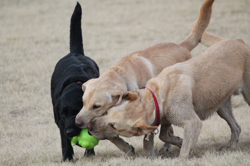 Lab playing small ball with 2 Golden Retrievers