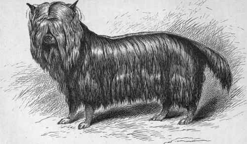 Origins of the Yorkshire Terrier