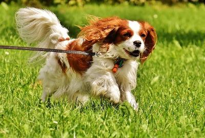 Happy dog running on a lead through grass