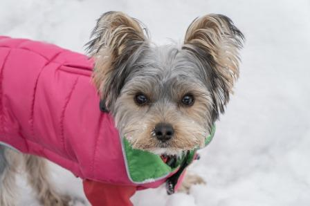 Female Yorkie in rose costume on a snow looking up