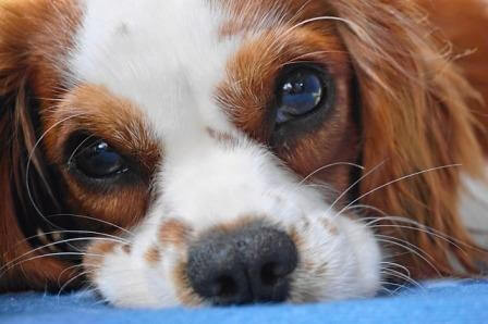 Eyes of a teacup dog close up