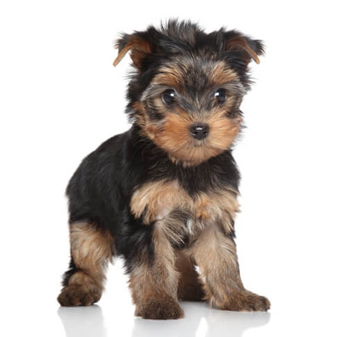 Yorkie Puppies For Sale Tiny Teacup And Cute Ct Breeder