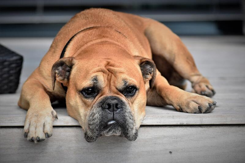 Continental Bulldog on the floor