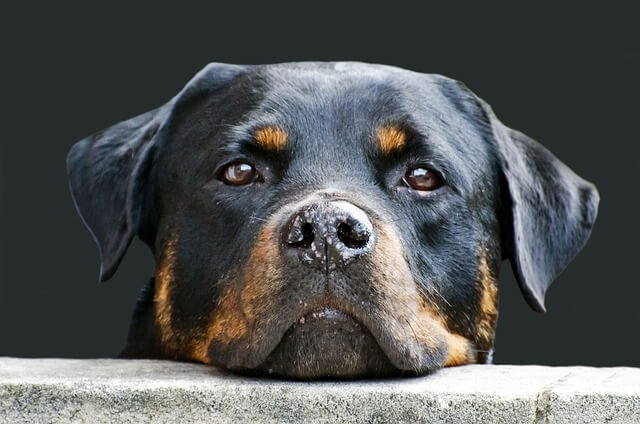 Adult Rottie face