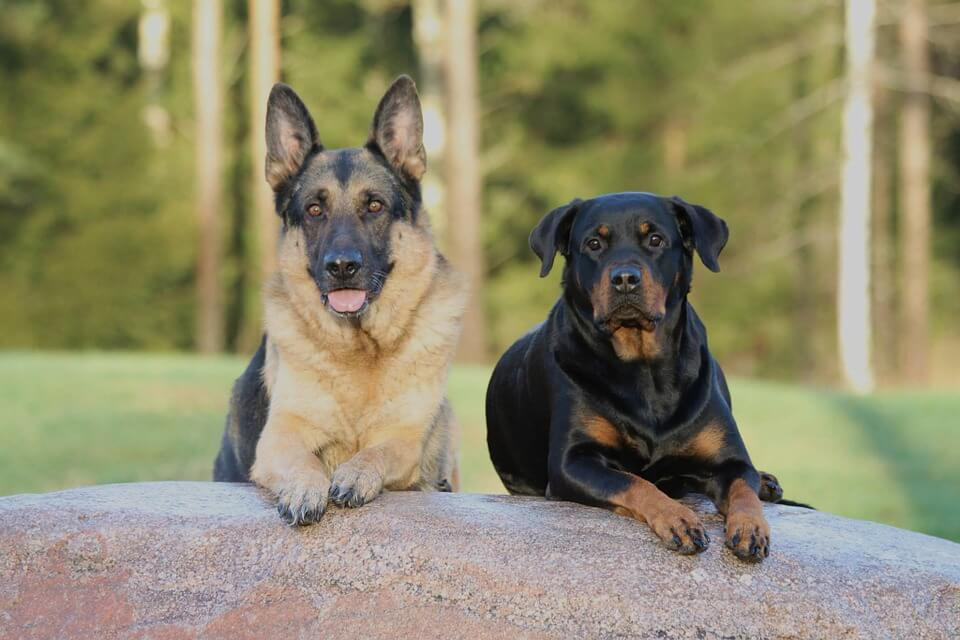 German Shepherd and Rottweiler lying next to each other on a log