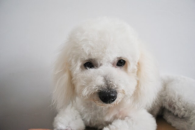 Bichon lying and posing for the camera