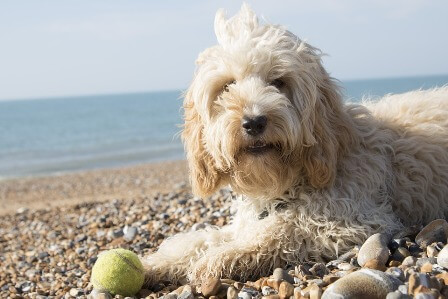 Cockapoo beside the sea with a tennis ball