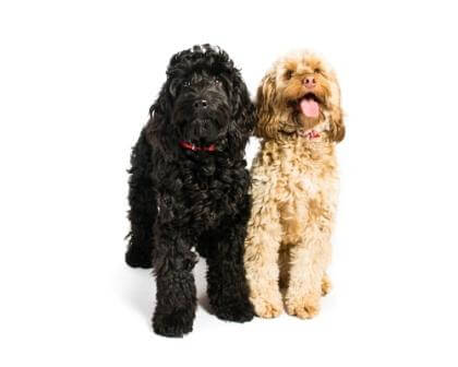 Cockapoo puppies for sale in CT: black and tan on image