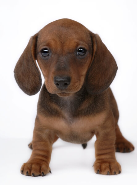 Smooth-haired Dachshund puppy for sale