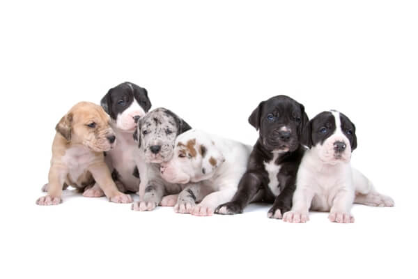 Great Dane Puppies for Sale in CT