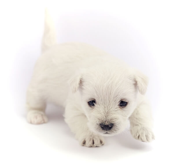 Little Bichon Frise puppy for sale