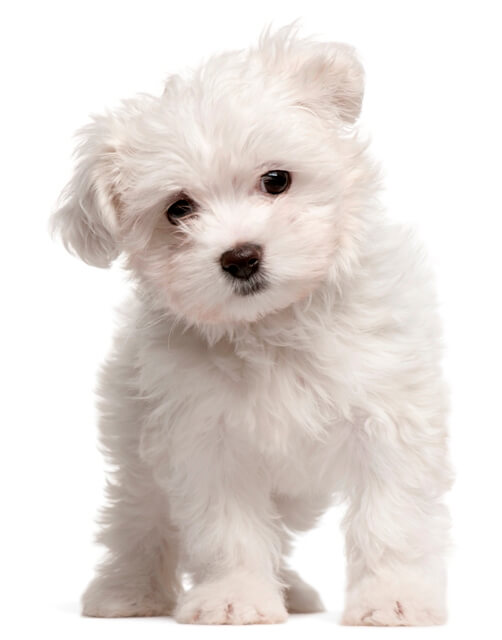 2 month old white Maltese puppy over the white background