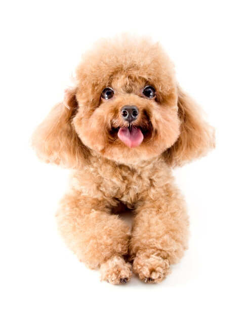 Red toy poodle puppy looking up