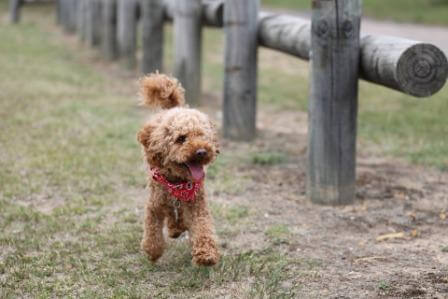 Apricot poodle puppy running
