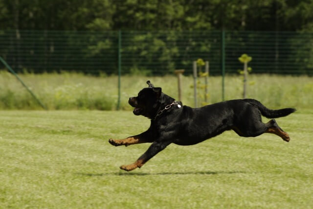 A Rottweiler is running on the lawn