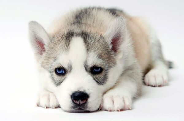 Siberian Husky puppy for sale lying on his paws