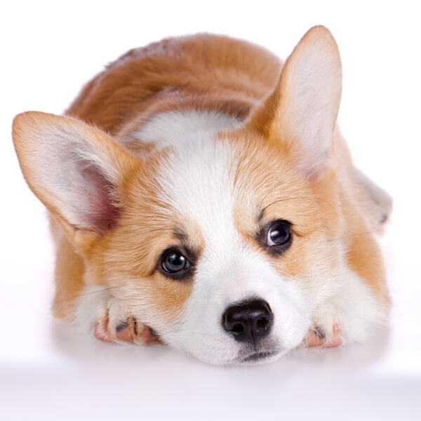 Welsh corgi puppy lying over the white background