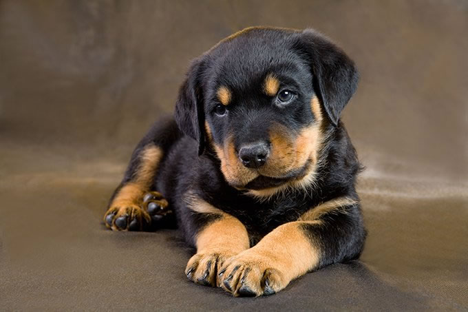 Puppies Dogs For Sale In Connecticut Ct Breeders