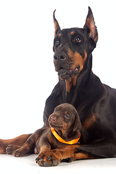 A Doberman puppy for sale in CT