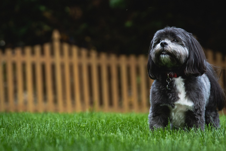 Black and white shih tzu puppy standing on the grass